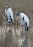 Pair of Wood Storks Mycteria americana standing in a shallow m Royalty Free Stock Photos