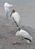 Pair of wood storks resting at the edge of a river at Huntington Beach, South Carolina. A pair of wood storks resting on a riverbank at Huntington Beach State stock images