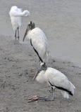 Pair of wood storks resting at the edge of a river at Huntington Beach, South Carolina Stock Images