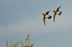 Pair of Woods Ducks Coming in for a Landing Over the Trees Royalty Free Stock Image