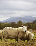 Pair of wooly Highland sheep grazing on alfalfa. Two sheep chewing on alfalfa in a lush field on the Isle of Skye, Scotland with a dramatic background Royalty Free Stock Image