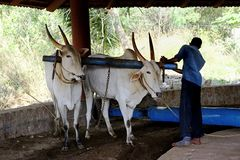 Pair of working Oxen Stock Photography