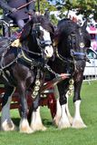Pair of working shire horses Stock Image