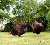 Pair of Wyandotte chickens in a large, rural garden during summertime. Part of a small flock, the birds are allowed to roam free within the confines of this Stock Images