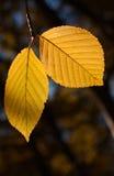Pair of yellow autumn birch foliage Stock Photos