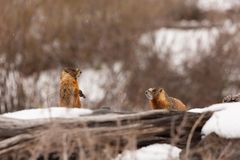 A pair of yellow bellied marmots sit together in a pile of old logs on a snowy winter day.  royalty free stock images