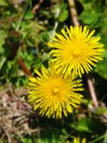 Pair of yellow dandelions over greenery stock photos
