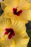 Pair of Yellow Hibiscus Flowers. Close up Royalty Free Stock Photography
