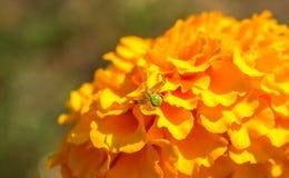 Pair of yellow marigolds Royalty Free Stock Photos