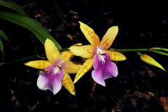 Pair of Yellow  orchid Royalty Free Stock Image