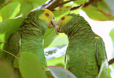 Pair of Yellow-shouldered Amazon parrots. Pair of wild endangered Yellow-shouldered Amazon parrots (Amazona barbadensis) in Bonaire, Netherlands Antilles Stock Photography