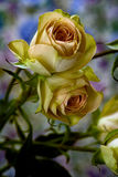 Pair of Yellow Spray Roses. Floral portrait of a pair of Yellow Spray Rose on a bluish background Royalty Free Stock Images