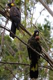A pair of Yellow-tailed black cockatoo sitting in a tree Stock Images