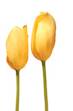 Pair of yellow tulips Stock Image
