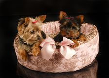 Pair of Yorkshire puppies  Stock Photo