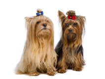 Pair of Yorkshire Terriers Royalty Free Stock Photos