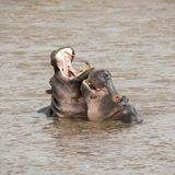 A pair of young adult hippos fighting. In the Mara river, in the Masai Mara, Kenya stock photos