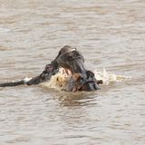 A pair of young adult hippos fighting. In the Mara river, in the Masai Mara, Kenya royalty free stock photos