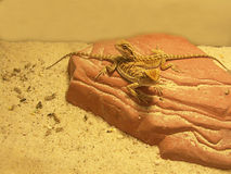 Pair of Young Bearded Dragons on Rock Stock Photo