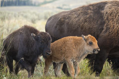A pair of young bison walk next to an adult. Two young bison walking in the sagebrush grasslands of the Lamar Valley in Yellowstone National Park, Wyoming Royalty Free Stock Image
