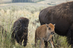 A pair of young bison walk next to an adult. Two young bison walking in the sagebrush grasslands of the Lamar Valley in Yellowstone National Park, Wyoming Stock Image