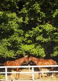Pair of young brown horses behind white fence. Horses kissing. Pair of young brown horses behind white fence corral in summer sunny day. Horses kissing. Horse Royalty Free Stock Photography