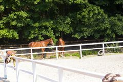 Pair of young brown horses. Horses kissing. Pair of young brown horses behind white fence corral in summer sunny day. Horses kissing. Horse love Royalty Free Stock Images