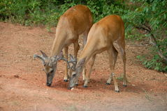 Pair of young deer Royalty Free Stock Photos