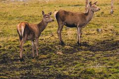 A pair of young deer who have not yet grown horns are walking through a pasture and stopped at a birch feeling the danger. Animals live in the reserve royalty free stock images
