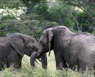 Pair of young elephants fighting, one with the trunk of the other wrapped around ivory tusk royalty free stock photos