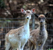 Pair of Young Fallow Deer. Close up of a pair of young fallow deer in New Zealand Royalty Free Stock Photo