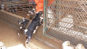 Pair of young goats standing on their hind legs and playing. Pair of young goats standing on their hind legs, leaning on corral fence, looking through it and stock video footage