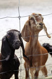 A pair of young goats want to eat Stock Photos