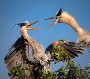 Pair of young great blue herons squawking at each other Stock Image