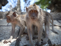 Pair of young monkeys - crab-eating macaque, Bali. Stock Photo