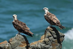 Pair of young osprey perched on rocks. Stock Photography