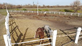 Pair of young purebreed horses standing in paddock and grazing. Ranch or farm at clear sunny day. Scenic rural country stock video