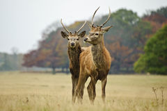 Pair of young red deer stags in Autumn Fall Stock Photo
