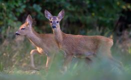 Pair of Young Roe deers walks together through grass royalty free stock images