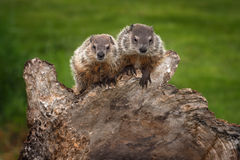 Pair of Young Woodchucks Marmota monax Look Out Royalty Free Stock Photography