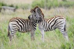 Pair of young zebra Stock Photography