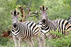 Pair of zebra. In the African bush Stock Photo