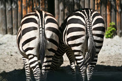 Pair of zebra backs. Two zebras in the zoo Stock Photography