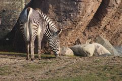 Pair of Zebra with backs to camera and tails swishing to left in tandem. Heads and eyes visible. Zebras are symbolic with their stripes royalty free stock image