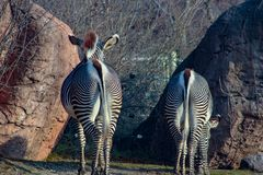 Pair of Zebra with backs to camera and tails swishing to left in. Tandem. Heads and eyes visible. Zebras are symbolic with their stripes royalty free stock photography