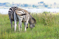 Pair of zebra grazing near dam Royalty Free Stock Photography