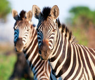 Pair of Zebra head and shoulders Royalty Free Stock Photo
