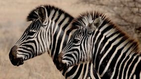 Pair of zebras Royalty Free Stock Photography