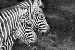Pair Of Zebras. A pair of Zebras - Twins? Two heads are better than one Stock Photography