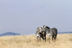 A pair of zebras in courtship Royalty Free Stock Images